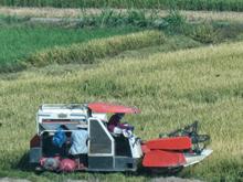 Reisernte in Vietnam im Mekong Delta